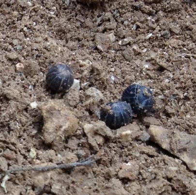cloportes en boule