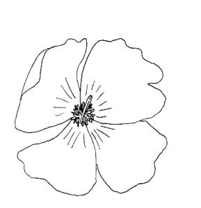 pavot fleur de