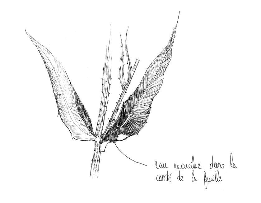 feuilles caulinaires cardère