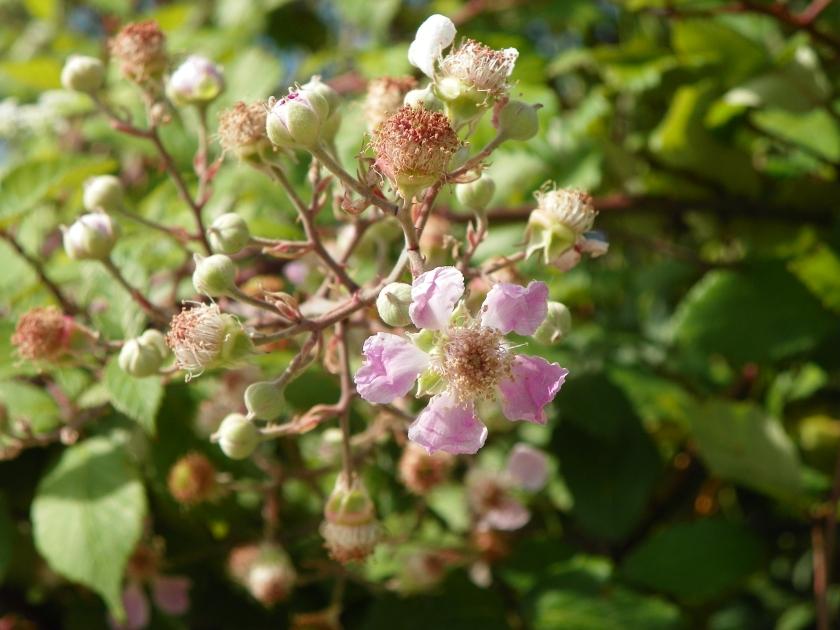 Ronce fleur-juin2020